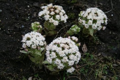 Petasites Frigidus flower