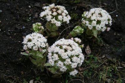 Petasites Frigidus flower
