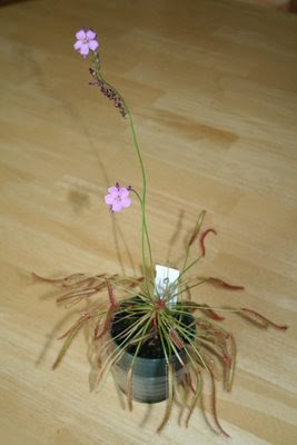 Cape sundew in flower