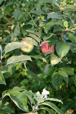 Apple blossoms and fruit