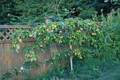 Espalier asian pear tree