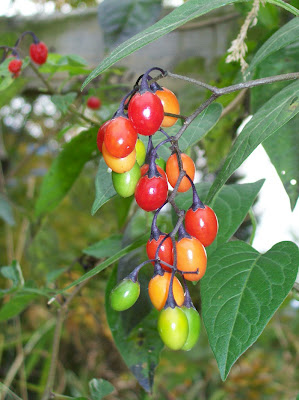 Bittersweet nightshade berries