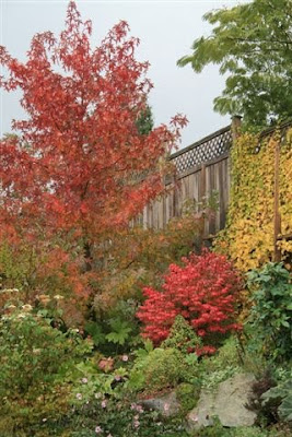 Autumn colours - Sweet gum and burning bush