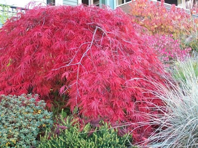 Autumn colours - Japanese split maple, dogwood, burning bush