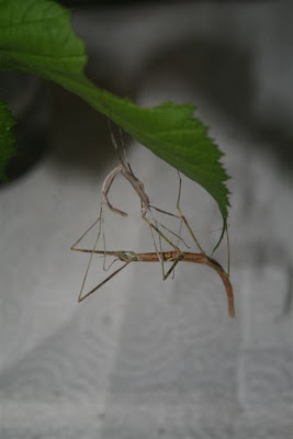 Walking stick bug with molted skin
