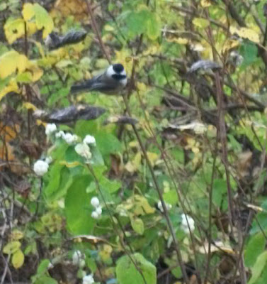 Chickadee among snowberries