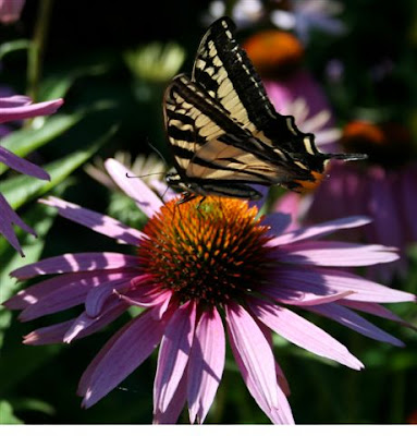 Swallowtail butterfly on coneflower