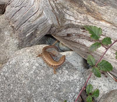 Lizard in BC