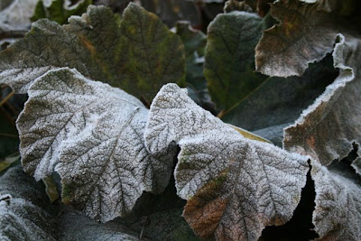 Gunnera in frost