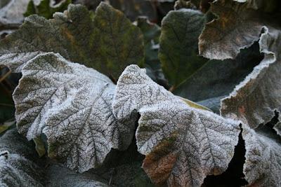 Gunnera in frost