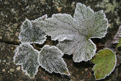 Anemone leaves in frost