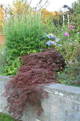japanese maple and echinops
