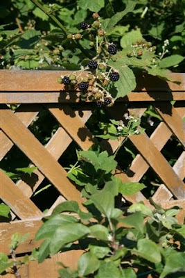 Blackberries over the fence