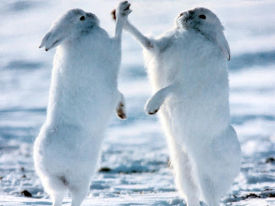 Sketches of two White rabbits fighting Animals wallpapers