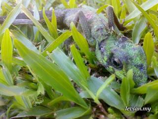 Half-dead Chameleon (SE w550i)