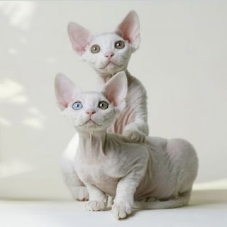 Sphynx Cat (Picture)