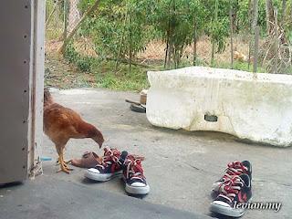Chicken (SE g705)