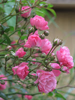 Rosen pink the fairy