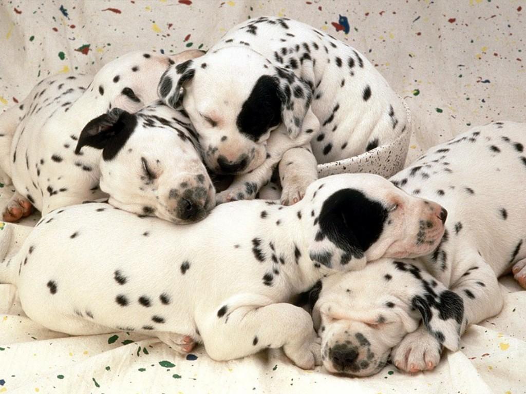 http://2.bp.blogspot.com/_foU4hzmJAVc/TCfYcSTPiuI/AAAAAAAABhI/gAhpd8ztKIM/s1600/sweet_dreams,_dalmatian_puppies.jpg