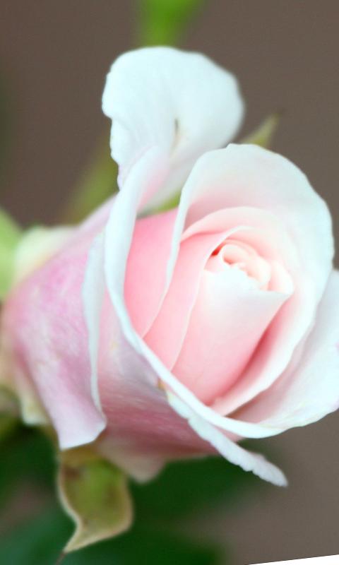 pink rose flower background. pink rose flower wallpaper.
