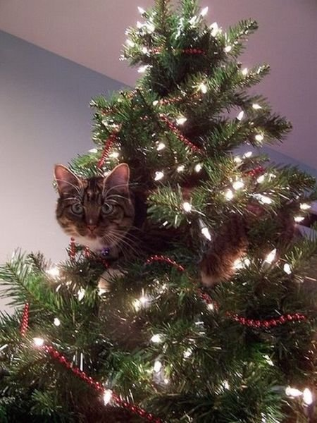 cats on christmas trees 19 pics curious funny photos pictures. Black Bedroom Furniture Sets. Home Design Ideas