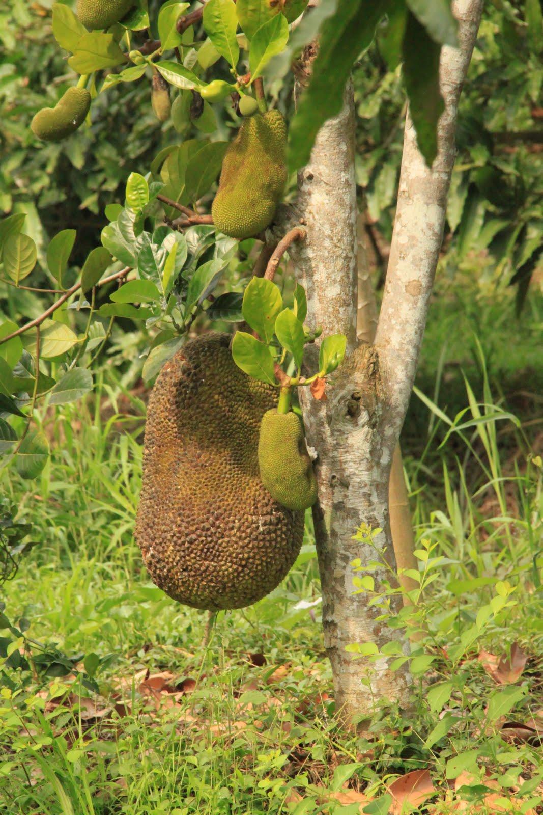 Coconut's blog: Durian vs Jackfruit Jackfruit Vs Durian