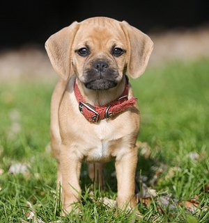 The Doggie Bloggie The Cutest New Trend Puggles