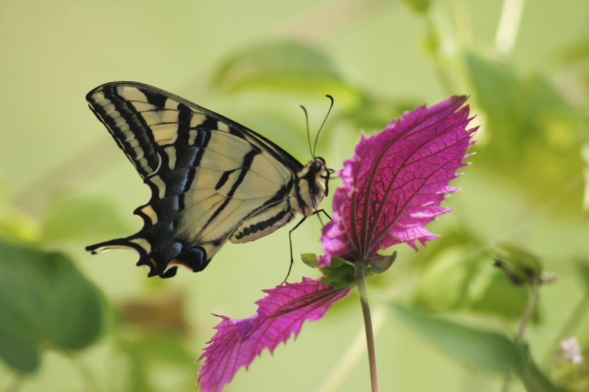 [tiger-swallowtail.jpg]