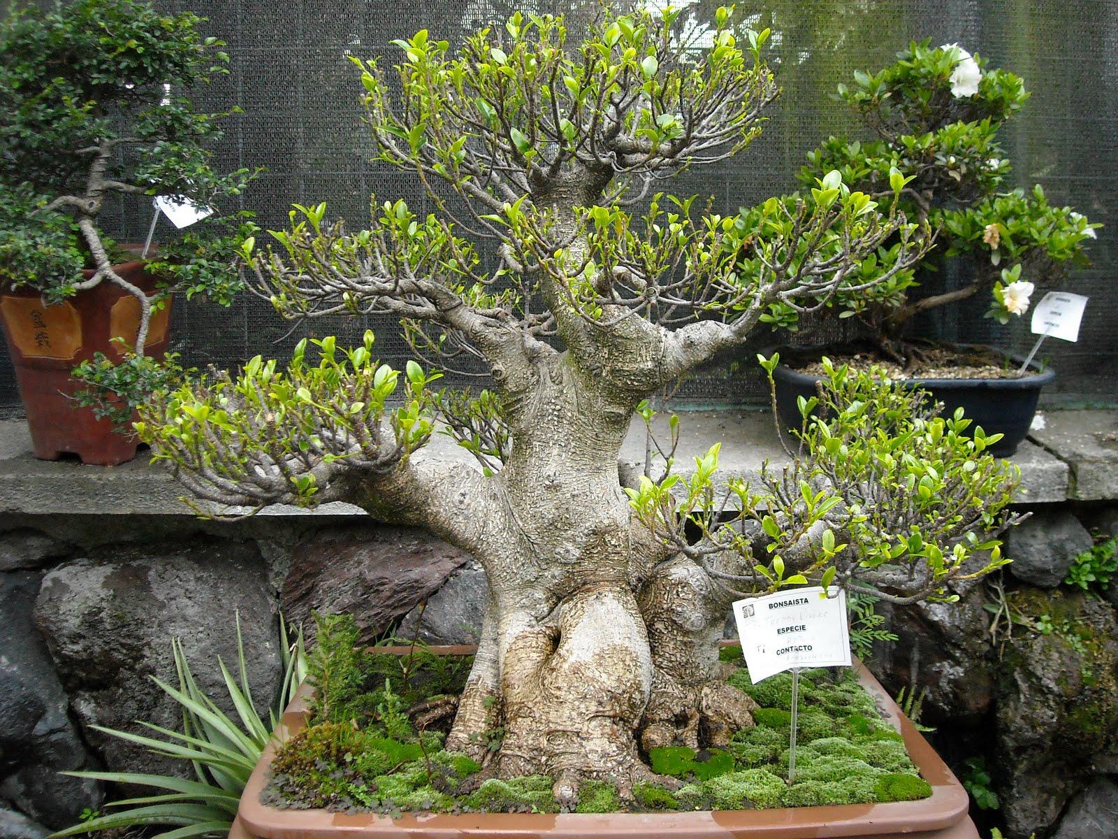 Las locas por el mundo exposici n de bonsais en el jard n - Jardin de bonsais ...