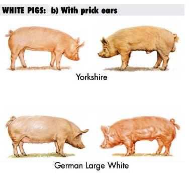 Cerdas y Cerdos Yorkshire y German Large White para carne de alta calidad y baja PSE