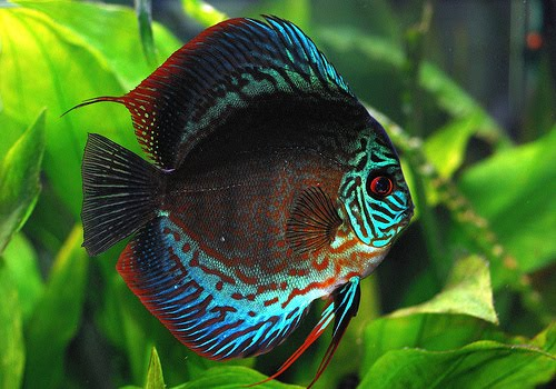 Discus Fish Is Also Known As King Of on oscar fish for sale male