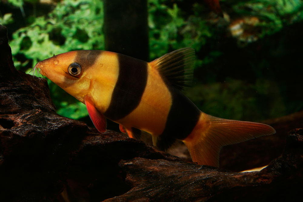 Tropical fish breeds fish breeds for your aquarium adds for Freshwater clown fish