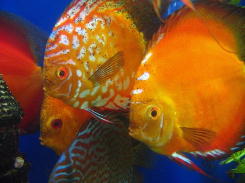 Discus Fish InfoThe Ultimate Guide to Discus Fish careBreeding ...