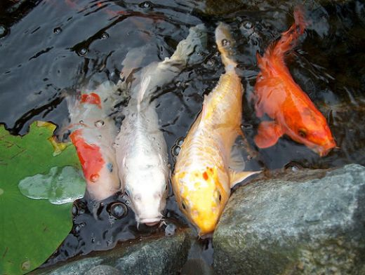 Koi fish pictures and tattoos design exotic tropical for All black koi fish