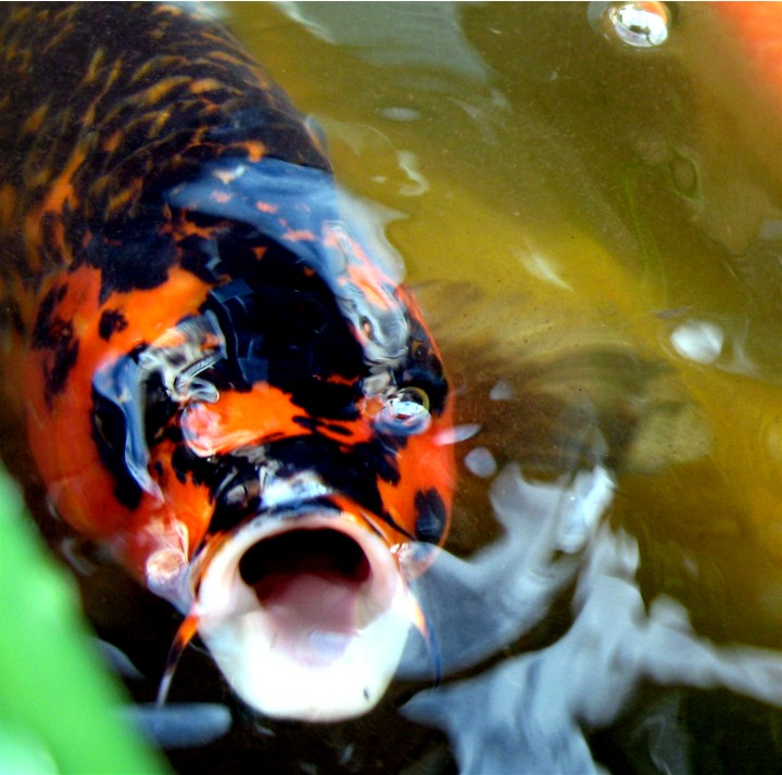 Koi fish pictures and tattoos design exotic tropical for Koi breeding pond
