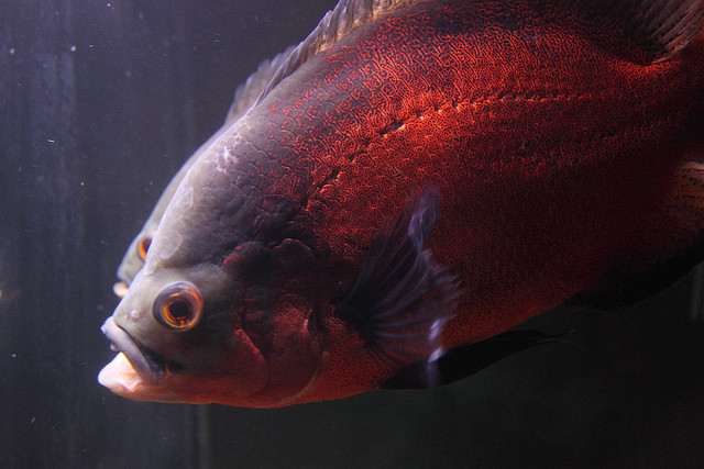 Astronotus Ocellatus Oscar Fish Exotic Tropical