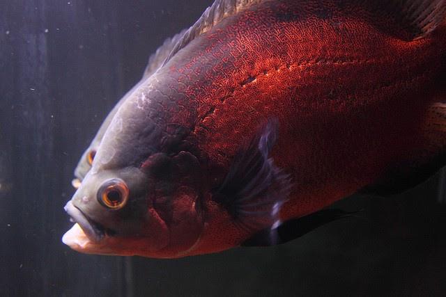 Beautiful Ornamental Fish Astronotus Ocellatus Oscar Fish