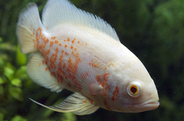 astronotus ocellatus oscar fish exotic tropical