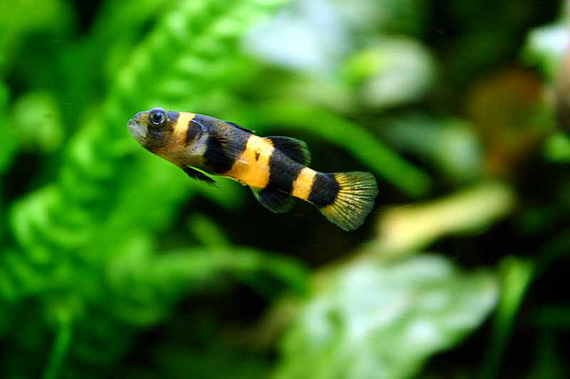 tropical bumblebee goby exotic tropical ornamental fish