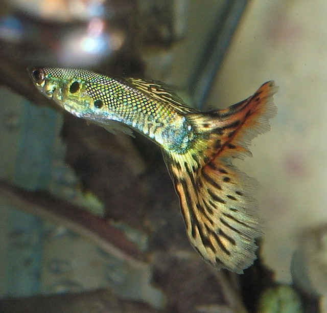 Most Popular Guppy Fish Exotic Tropical Ornamental Fish Photos With ...