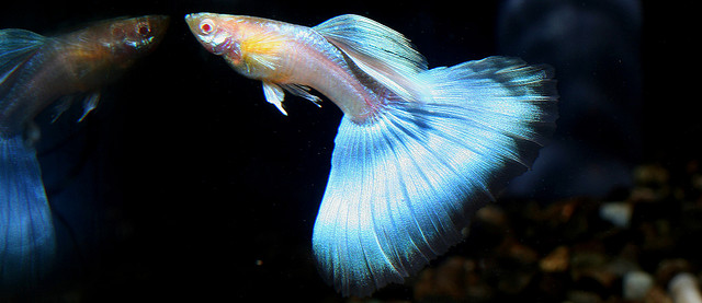 Guppy Fish Japan Japan Blue Guppy Fish Stock Photos Exotic Tropical Fish on oscar cichlid with fry