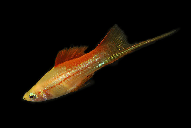 Green Swordtail Fish Exotic Tropical Ornamental Fish Photos With ...