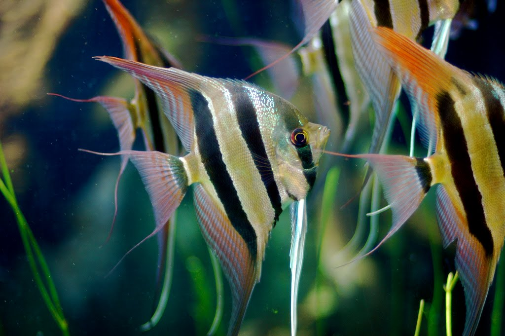 Pterophyllum Altum Angelfish | Exotic Tropical Ornamental ...