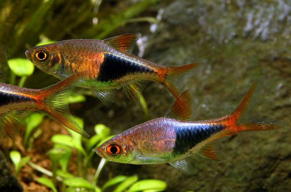 Rasbora harlequin trigonostigma heteromorpha profile for Best community fish