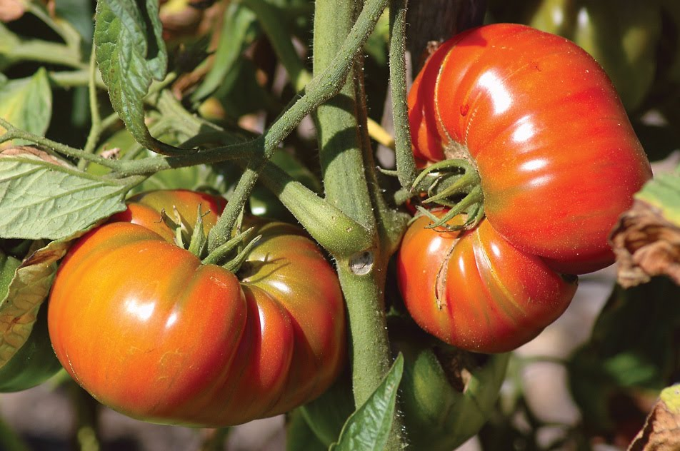 Bunty 39 s balcony 5 great heirloom tomatoes for containers - Best tomato plants for container gardening ...
