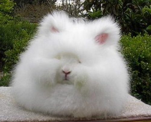 cute pictures of bunnies. cute, the angora unny