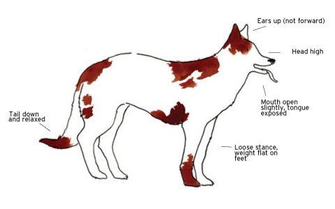 park avenue chihuahua a dogs body language