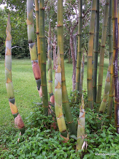 Beautiful Bamboo Photos Of Giant Timber Bambusa Oldhamii