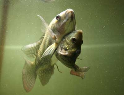 Siamese Twin of Nile Tilapia Fish