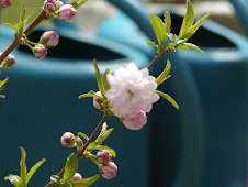 Flowering Almond